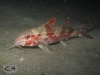 Bar-tail Goatfish; Upeneus tragula
